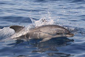 0.Bottlenose dolphin Tursiops truncatus delfin mular (3)