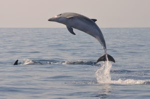 1.Bottlenose dolphin Tursiops truncatus delfin mular (2)