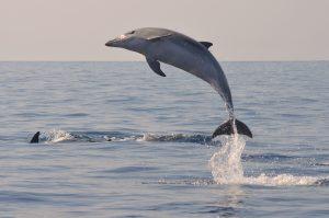 1.Bottlenose dolphin Tursiops truncatus delfin mular (2)