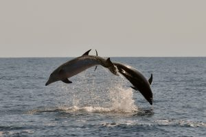 2. Tursiops truncatus delfin mular bottlenose dolphin