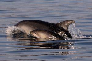 2.Delfin mular cría tursiops truncatus