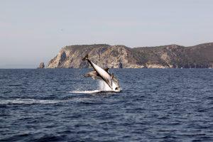 2.Tursiops truncatus bottlenose dolphin delfin mular