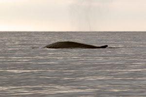 3.Fin whale