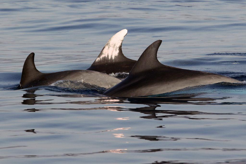 Fotoidentificación tursiops truncatus delfin mular. Dofins de tramuntana