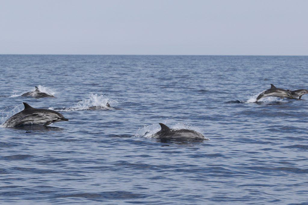 Delfin listado stenella coeruleoalba striped dolphin. Dofisn de tramuntana